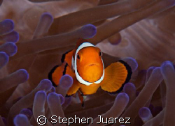 Clown fish in purple tip annenome by Stephen Juarez 